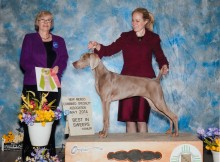Frankie Best in Sweepstakes, Weimaranenr Albuquerque, May 2014