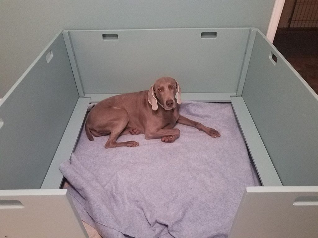 Frankie the Weimaraner practicing in the whelping box.