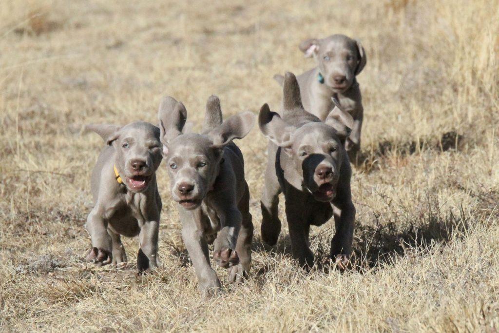 Lillian Puppies